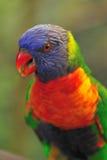 Budgie coloreado 3 Fotos de archivo libres de regalías
