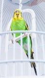 Budgie dans sa cage photographie stock