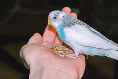 Budgie, das auf einer Palme der Hand sitzt Lizenzfreies Stockbild