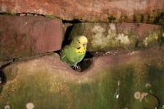 Budgie, das aus seiner Höhle heraus schaut Lizenzfreies Stockfoto