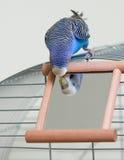 Budgie e um espelho Foto de Stock Royalty Free