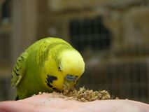 Budgie eating millet Royalty Free Stock Photography