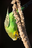 Budgie eating seed hanging upside down Royalty Free Stock Photo