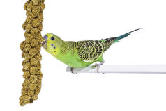 Budgie et sa nourriture Photo stock