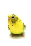 Budgie female on white Stock Image