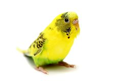 Budgie female on white Royalty Free Stock Image
