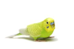 Budgie female on white Stock Photography