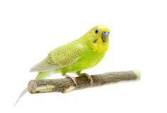Budgie female on white Royalty Free Stock Photography
