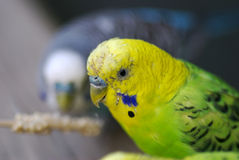 Budgie Fever. A cute budgie taking a break from a snack with his friend blurred in the background royalty free stock images