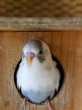 Budgie fledgling. A close-up view of a young fledgling grey recessive pied budgie getting ready to leave the nest box Stock Photos