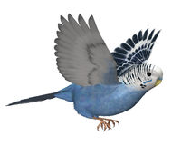 Budgie Flying. 3D render depicting a budgie (or parakeet) in flight Stock Image