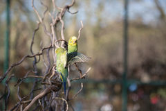 Budgie flying with his wings spread Royalty Free Stock Images