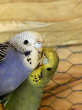 Budgie Friends Royalty Free Stock Images