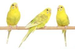 budgie gałęziasty kolor żółty trzy Fotografia Stock