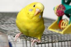 Budgie giallo Fotografia Stock