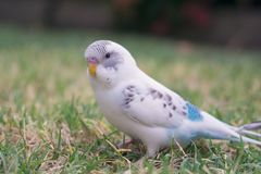 Budgie on green grass. Recessive pied blue and white budgie sitting grass outdoors Stock Photo