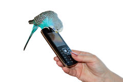 Budgie on  hand Stock Image