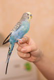 Budgie on a hand Royalty Free Stock Photo