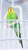 Budgie in his cage Stock Photography