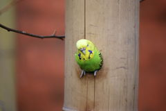 Budgie In A Hole Stock Images