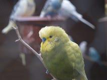 Budgie im Vogelhaus Lizenzfreie Stockbilder