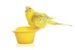 Budgie jaune photographie stock libre de droits