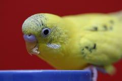 Budgie jaune Images libres de droits
