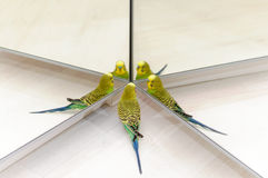 Budgie Look in the mirror on many reflections. Budgerigar on floor. Budgie Look in the mirror on many reflections Royalty Free Stock Photo