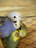 Budgie love Royalty Free Stock Photos