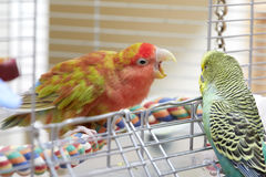 Budgie and lovebird parrots. Stock Photo