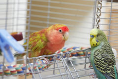 Budgie and lovebird parrots. Royalty Free Stock Photo