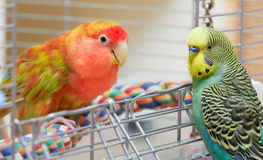 Budgie and lovebird parrots. Royalty Free Stock Photography