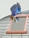 Budgie and a mirror. A blue budgie looking at mirror Royalty Free Stock Photo