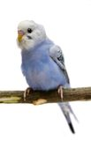 Budgie 1,5 mounths on white Stock Photography