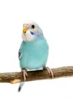 Budgie 1,5 mounths on white Stock Photos