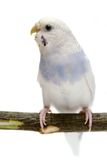 Budgie 1,5 mounths on white Royalty Free Stock Images