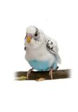 Budgie 1,5 mounths on white Stock Images