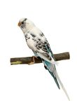 Budgie 1,5 mounths on white Royalty Free Stock Photos