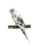 Budgie 1,5 mounths on white Royalty Free Stock Photography