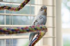 Budgie na kolorowej linowej żerdzi Fotografia Royalty Free
