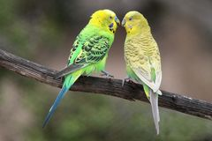 Budgie Pair stock image