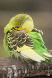 Budgie / Parakeet. Green and yellow budgie/parakeet sleeping on a branch Royalty Free Stock Images
