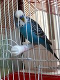 Budgie parrot Stock Photo