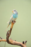 Budgie Stock Images