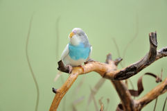 Budgie Stock Photo
