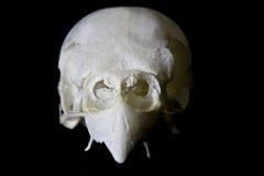 Budgie-Schädel auf schwarzem Hintergrund Stockfotos