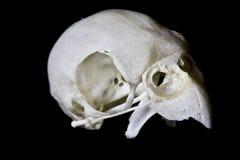 Budgie-Schädel auf schwarzem Hintergrund Stockfotografie