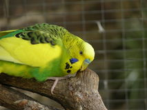 Budgie scratching Melopsittacus undulatus Royalty Free Stock Image
