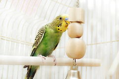 Budgie sits in cage. Green domestic budgie sitting with his toy friend Stock Images