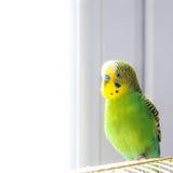 Budgie sitting on birdcage. Stock Photo